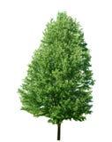 Lange esdoornboom Stock Fotografie
