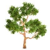Lange Geïsoleerde Eucalyptusboom Stock Fotografie