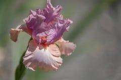 Lange Gebaarde Iris Keeping Up Appearances stock afbeeldingen