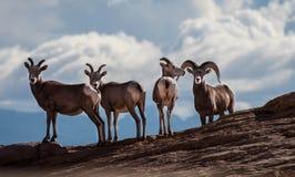 Lange gehörnte Schafe Stockfotos
