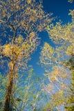 Lange Gele Bomen Stock Foto