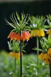 Lange Gele fritillariaimperialis Stock Foto
