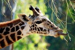 Lange getadelte Giraffe, die einen Yummy Zweig wählt Lizenzfreie Stockbilder