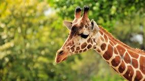 Lange Giraf Met een netvormig patroon stock fotografie