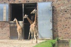 Lange giraffen met zijn baby in de dierentuin van Chester stock afbeelding