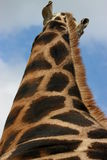 Lange girafhals Stock Foto