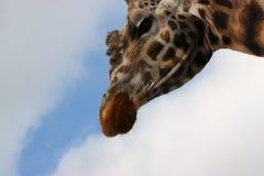 Lange girafhals Royalty-vrije Stock Foto's