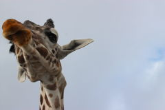 Lange girafhals Royalty-vrije Stock Afbeeldingen