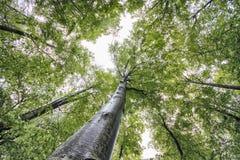 Lange groene bomen in een bos in de lentetijd stock foto's