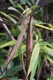 Lange Hülse Browns des Impalalilienblickes harmonisch mit Blättern und tr stockfoto