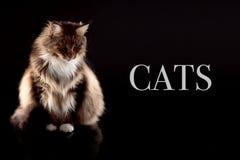 Lange haarkat die neer met steekproeftekst kijken royalty-vrije stock fotografie