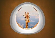 Lange Hals Giraffe, die Abflussrinnenpassagierflugzeugfenster schaut lizenzfreie stockfotos