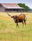 Lange hoornjonge os op een landelijke weg van Texas Stock Foto's