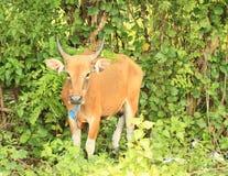 Lange Hörner der Kuh Stockbild