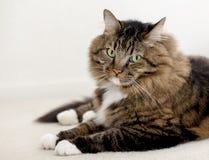 Lange Katze der Haargetigerten katze Lizenzfreie Stockfotos