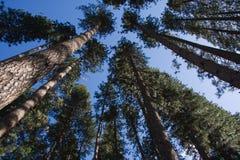 Lange, lange bomen Stock Fotografie
