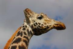 Lange lange giraf Royalty-vrije Stock Afbeeldingen