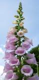 Lange lavendel-Roze Digitalis Royalty-vrije Stock Fotografie