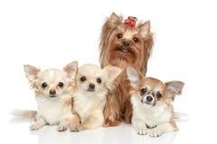 Lange Mantel-Chihuahua und Yorkshire-Terrier stockfotos