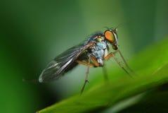 Lange mit Beinen versehene Fliege Stockfoto
