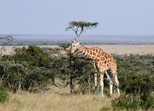 Lange mooie Giraf in de Ol-pejetamilieubescherming, Kenia Royalty-vrije Stock Foto's