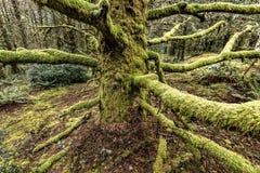 Lange mos behandelde takken in Oregon stock fotografie