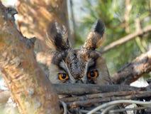 Lange ohrige Eule auf der Nest-Stirnseiten-Ansicht Lizenzfreie Stockbilder