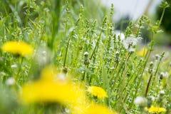 Lange onkruid en paardebloemen stock afbeelding
