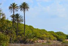 Lange Palmen Stock Afbeelding