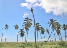 Lange palmen op een blauwe hemelachtergrond Stock Afbeeldingen