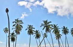 Lange palmen op een blauwe hemelachtergrond Royalty-vrije Stock Foto's