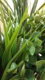 Lange pic bladeren van twee soorten Stock Afbeeldingen