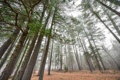 Lange pijnbomen en sparren op een mistige die ochtend van de herfstnovember in mist wordt omringd Stock Foto