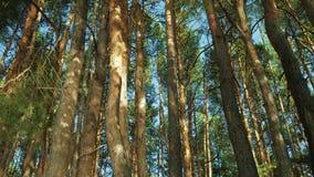 Lange Pijnbomen stock footage