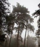 Lange pijnboom in de herfstmist Royalty-vrije Stock Afbeelding