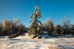 Lange pijnboom in de winter voor een deken van sneeuw stock afbeeldingen
