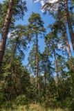 Lange pijnboombomen in bos met blauwe hemel en wolken Royalty-vrije Stock Foto