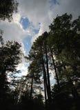 Lange pijnboombomen, cumuluswolken en blauwe hemel Royalty-vrije Stock Foto