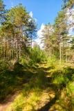 Lange pijnboombomen in het bos Stock Afbeeldingen