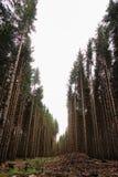 Lange pijnboombomen in het bos stock foto
