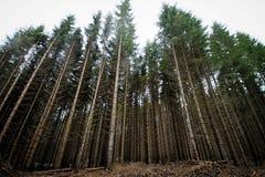 Lange pijnboombomen in het bos stock afbeelding
