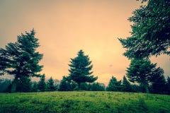 Lange pijnboombomen op een groen gebied royalty-vrije stock foto's