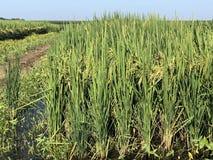 Lange proefbank van rijstgewas Royalty-vrije Stock Fotografie