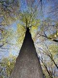 Lange rechte boom tegen blauwe hemel Stock Fotografie