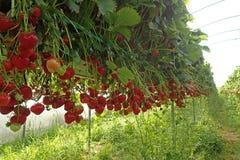 Lange Reihe von Erdbeeranlagen an einer ` Auswahl Ihr eigener ` Bauernhof nahe Nairn lizenzfreies stockbild