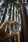 Lange ReuzedieCalifornische sequoia Forest Trees Captured in Glasbal in F wordt gehouden stock foto's