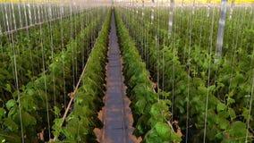 Lange rijen van komkommerinstallaties in serre stock video