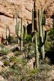 Lange saguarocactus in de woestijnhooglanden Stock Afbeelding
