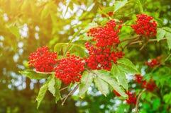 Lange Schatten und blauer Himmel Rote Herbstholunderbeere auf der Niederlassung Stockfoto