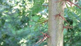 Lange Scherpe Doornen op Acaciaboom royalty-vrije stock afbeeldingen